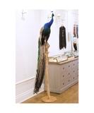 René the Peacock